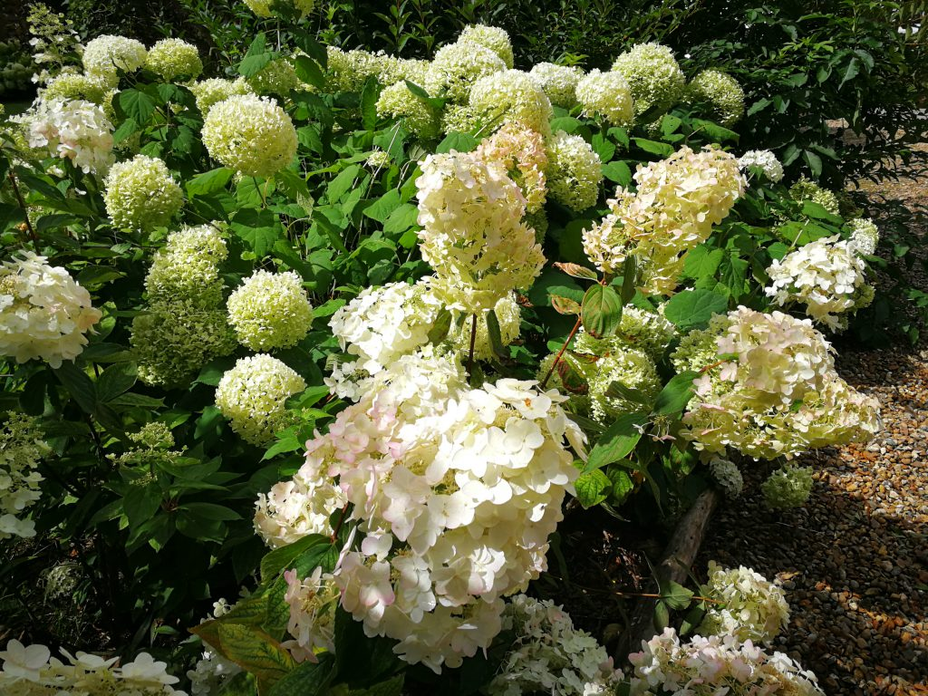 hydrangea du jardin
