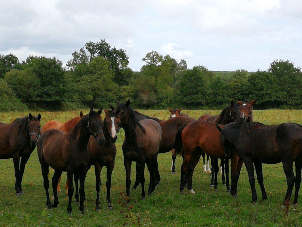 Cambremer groupe de chevaux