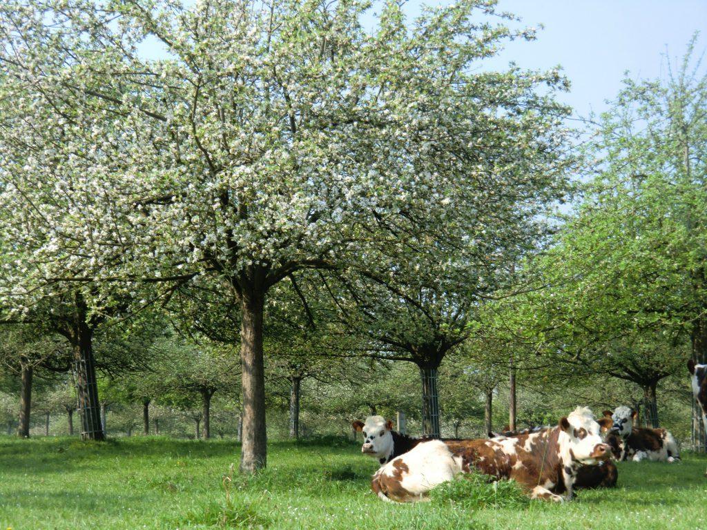 2 incontournables des paysages normands du pays d'Auge: pommiers et vaches